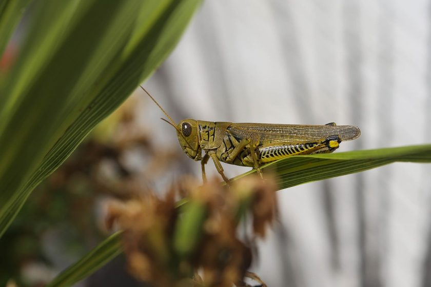 A zöld gyík tápláléka: szöcske