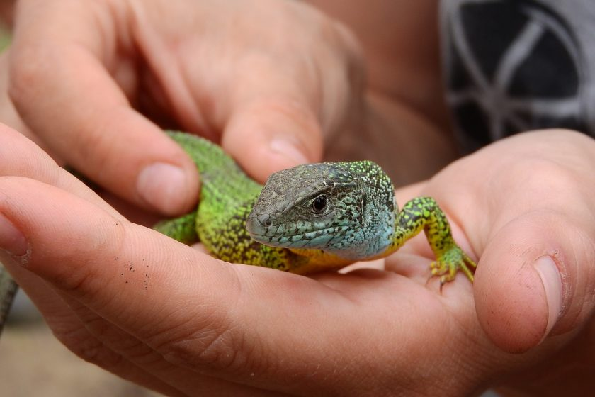 Zöld gyík kézhez szoktatás