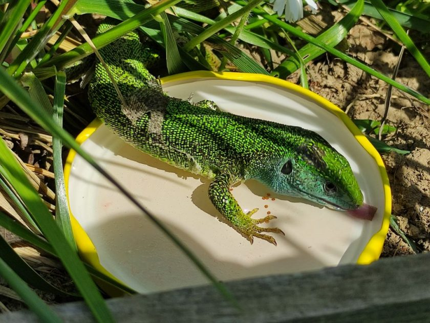 Iszik a zöld gyík
